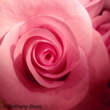 Pink Roses © Bethany Baas